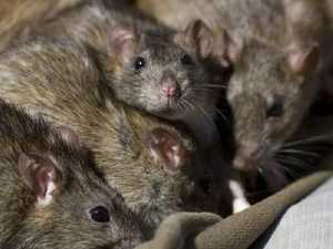 Monster rat terrifies family, sparks calls for taskforce