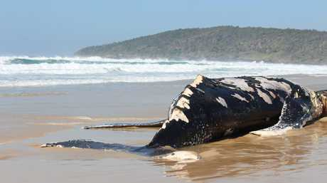 BITE MARKS: Great white sharks were seen feasting on the carcass of this dead whale before it washed ashore at Angourie Back Beach over the weekend.