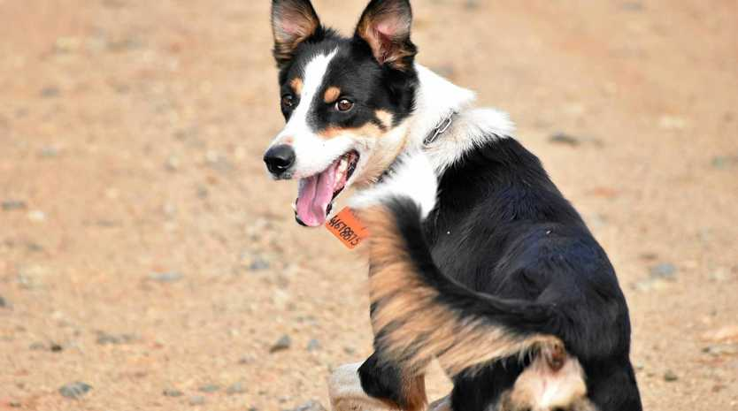Ruby from Monto is currently in fourth place in the national Cobber Challenge. The contest to find Australia's toughest working dogs runs over three weeks.