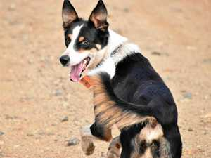 Ruby leads Qld pack in national working dog comp