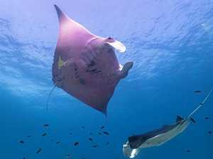 Project Manta on the lookout for Bundy's pink manta