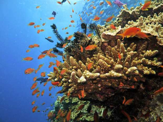 Coral colony and soldier fish on Great Barrier Reef Australia