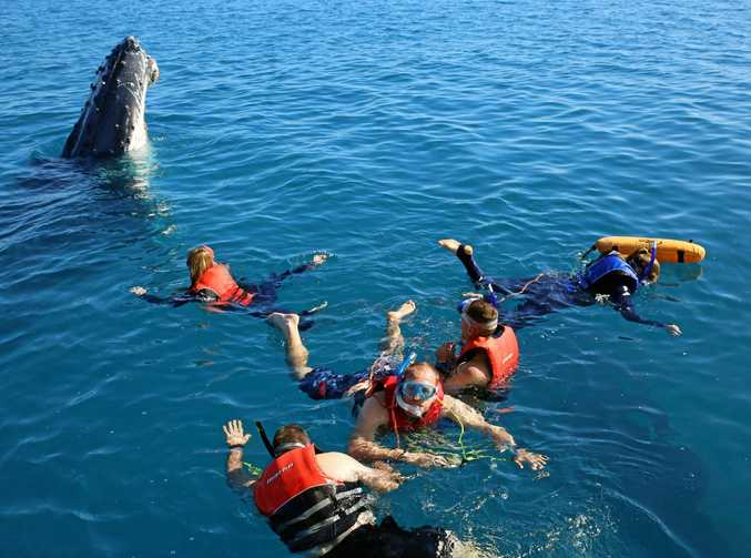 GREEN LIGHT: Tourists and locals will be able to keep swimming with whales, after it was approved by the government.