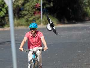 Magpie nesting season swoops in on the Coffs Coast