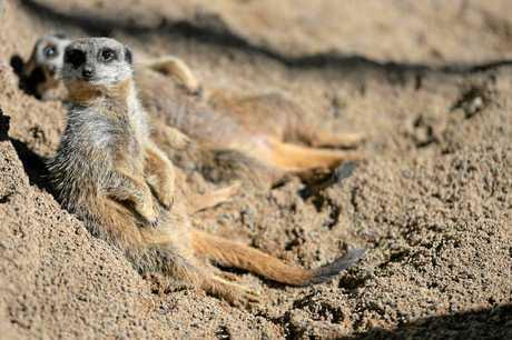 AUSTRALIA ZOO: You can help name the Zoo's new meerkats.