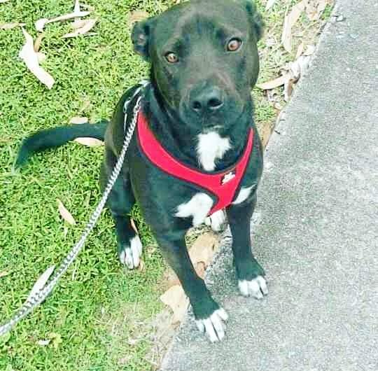 Two-year-old Winston is a staffy cross kelpie and was seized by council in March for being 'dangerous'.