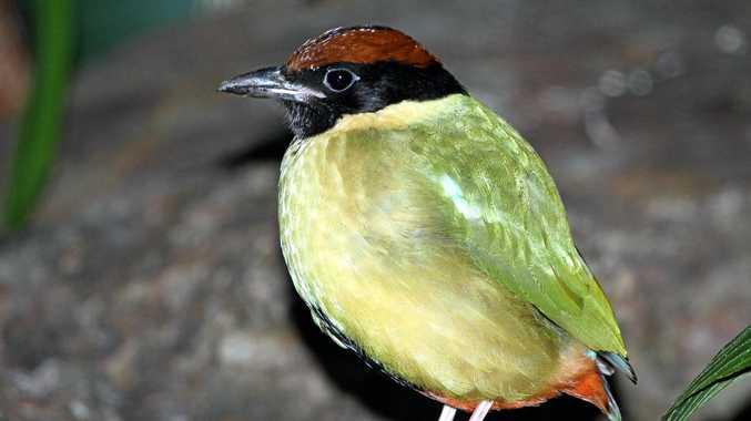 BEAUT BIRD: This Noisy Pitta is a rare sight.
