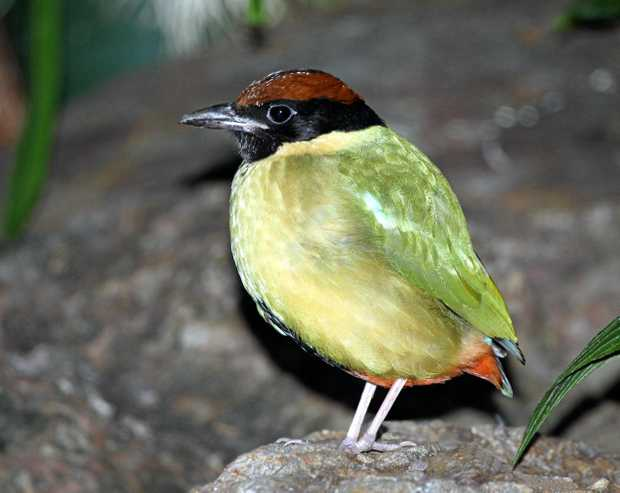 BEAUT BIRD: This Noisy Pitta is a rare sight.