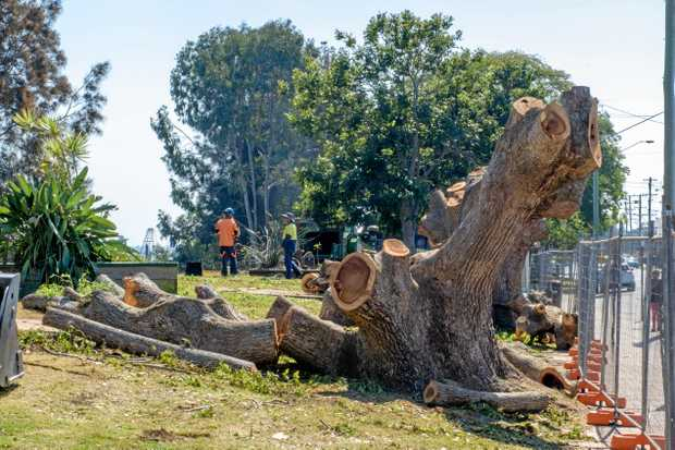 ALMOST GONE: Camphor Laurel being removed from McLachlan Park in Maclean.