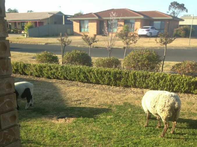 Sheep escape into suburban Warwick front yard.