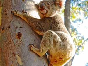 National Park koala is healthy and back home