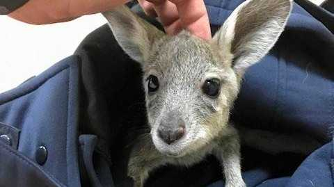 LUCKY ROO: A baby joey was saved by a Glenden police officer on Tuesday, after its mother was struck by a car.