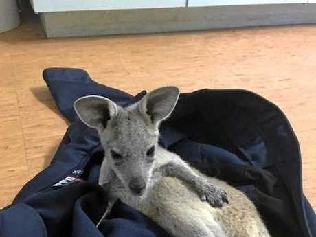 A little joey was saved from the roadside by the Glenden police station.