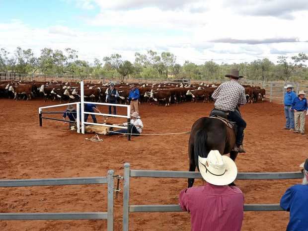 GOOD BRANDING: There was plenty of action at the 2016 Undoolya Station bronco branding.