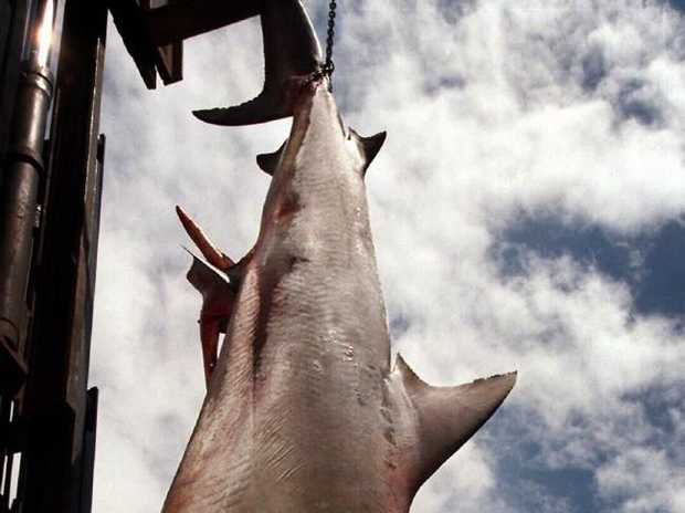 The shark caught off Castle Rock in 1999.