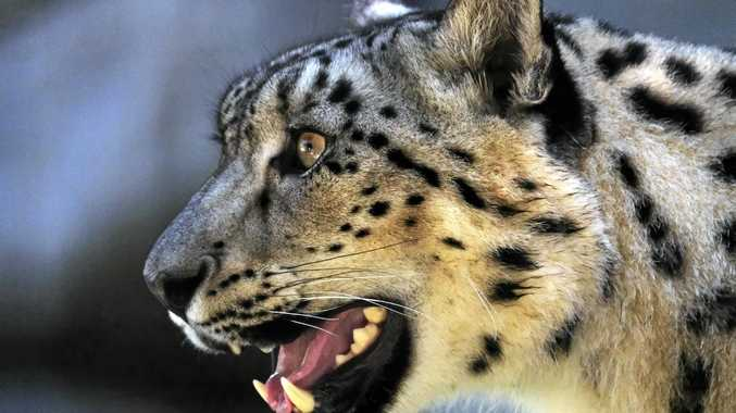 No longer listed as endangered, snow leopards are making a recovery.