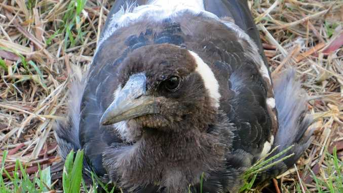 A fledgeling magpie will be protected by its parent.