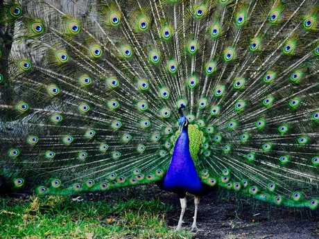Tweeters' peacock puts on a splendid display.