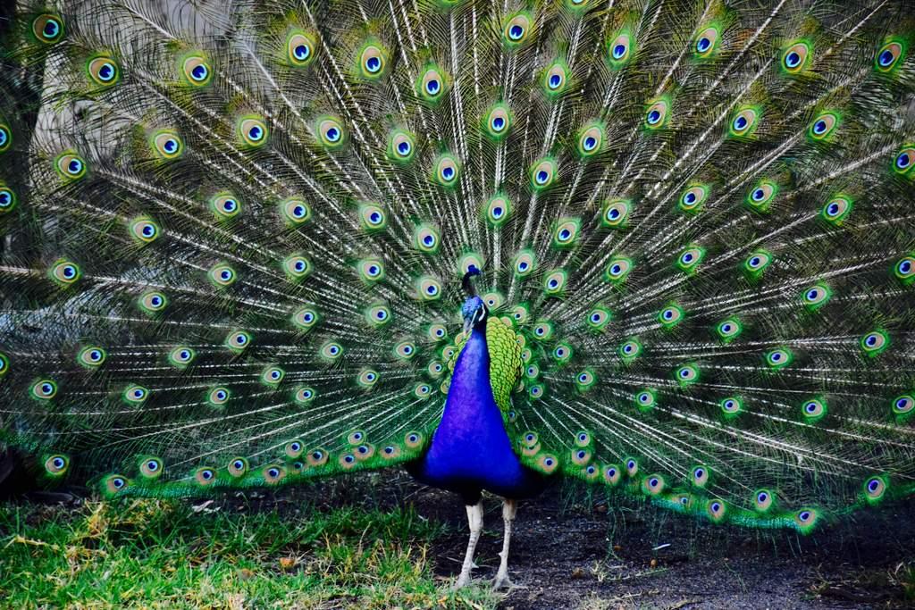 Tweeters' peacock puts on a splendid display.