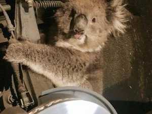 Koala survives 16km drive hidden in wheel arch