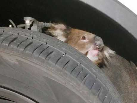 Koala Found Clinging To The Bottom Of A Car For 10 Miles