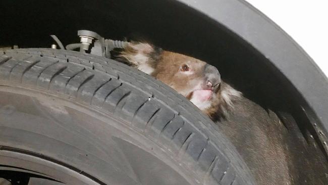 Kelli the koala held on tight over a 16km car ride.