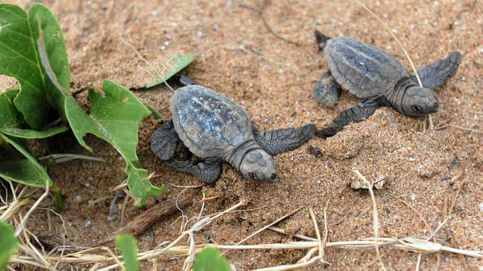 TURTLE CONSERVATION: Hatchling Loggerhead turtles on Mon Repos Beach.