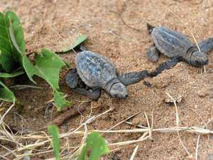 Volunteers needed for turtle conservation