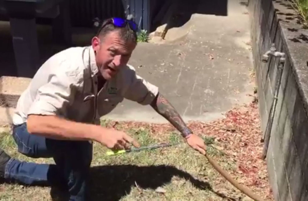 Snake catcher Dave Weidman wrangles with a brown snake.