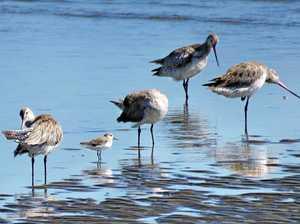 Adventure to find endangered shorebirds