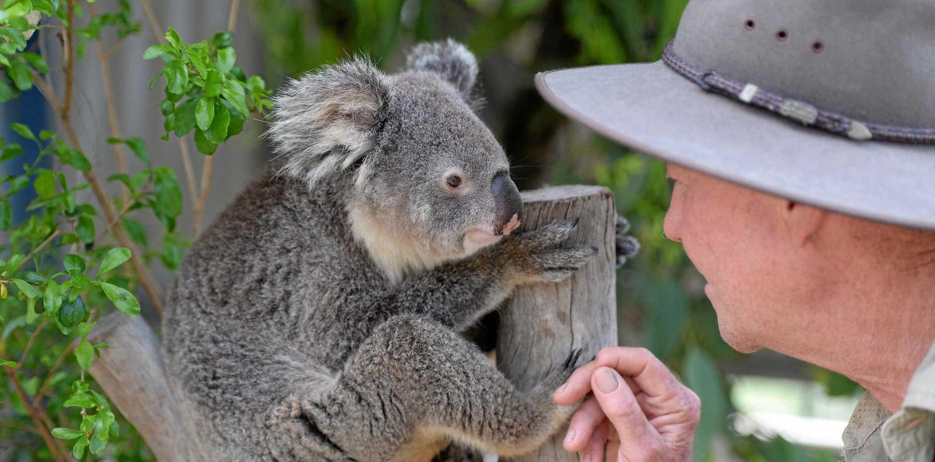 ROCKHAMPTON ZOO: Novatel a resident koala and Life Science Coordinator Graeme Strachan.