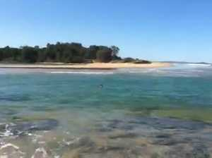 Kangaroo swims up an estuary