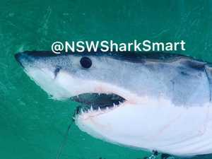 Third great white shark tagged and released off Coffs Coast