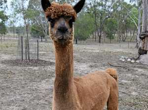 Alpacas slaughtered in cold blood: 'It's a low, mongrel act'