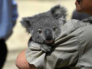 Lismore's 'uphill battle' for dwindling koalas