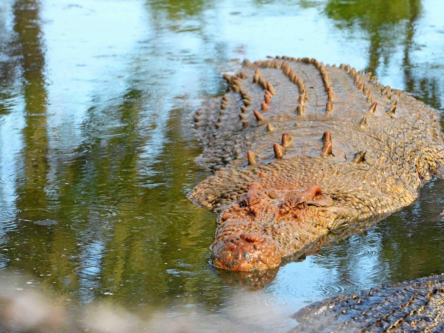 One of the large crocodiles on display at the Koorana Crocodile Farm on the Capricorn Coast.