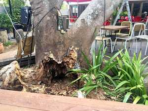 TOO DANGEROUS: Mullumbimby's iconic poinciana tree is set to be cut down as early as next week.