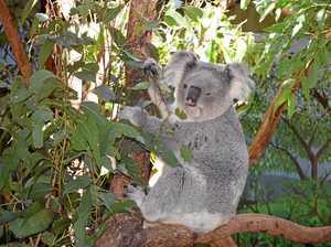 Koalas spotted crossing busy Southside roads