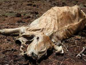 Drought-battling farmers may be forced to euthanise cattle