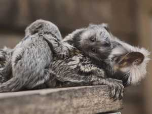 Baby marmosets cling to parents in adorable video