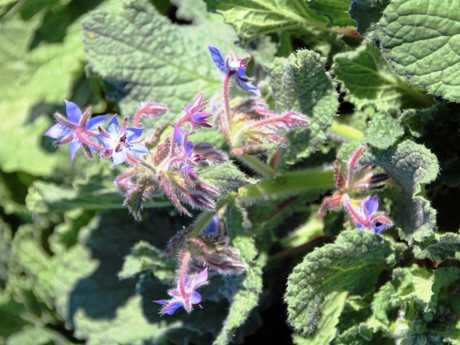Borage flowers growing at the Ogilvie Group's Maravista Farm in the Noosa hinterland.