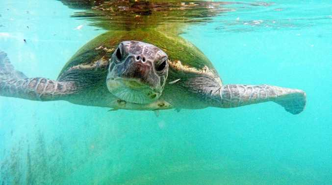 Rescued green turtle in rehabilitation at Dolphin Marine Magic.