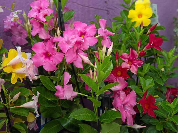 total gardens plant feature.Dipladenia citrine . 10 Februray 2016Photo: Trevor Veale / The Coffs Coast Advocate