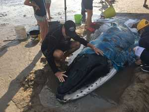 Sad end to fight to save beached newborn whale