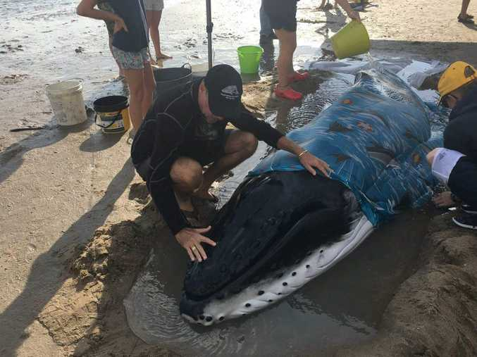 People are trying to assist a newborn humpback whale calf that has washed up on Dundowran Beach.