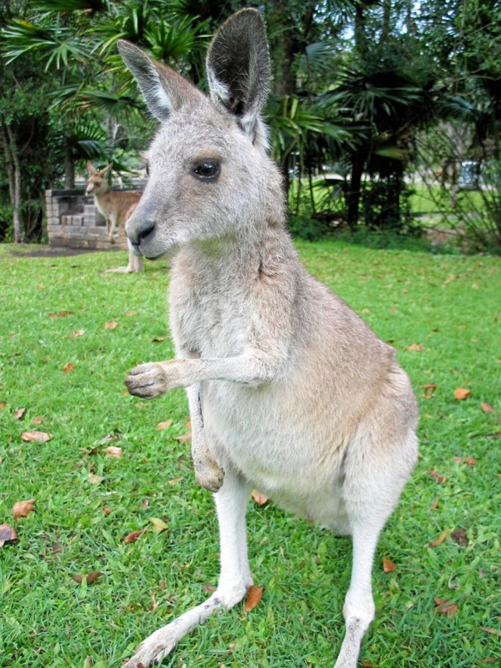 RIGHT OR LEFT: Research suggests most kangaroos are southpaws.