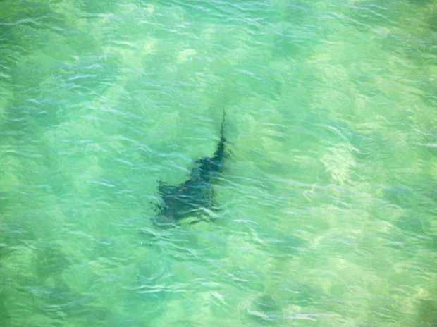 SHARK SPOTTED: A 2.5m was spotted by a NSW DPI aerial team off Boambee Beach on Monday, September 25, 2017.