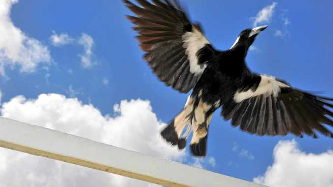 KEEP AN EYE OUT: The change in season means a higher chance of swoops as magpies protect their young.
