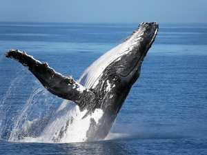Hervey Bay's whale star in award winning documentary