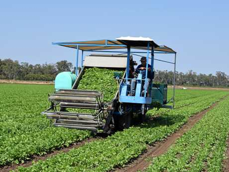 Coriander being harvested on Paul Stringer's property.